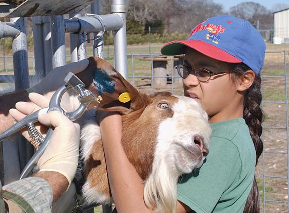 """Tattoo Time"" Registered Boer Goats have special I.D. markings tattooed"